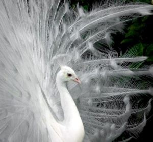 Live like a White Peacock… do things for the love of doing things…