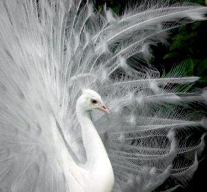 side-peacock