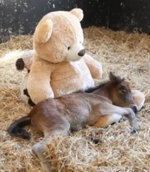 o-orphaned-foal-teddy-bear-facebook
