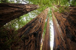 sequoia-grove