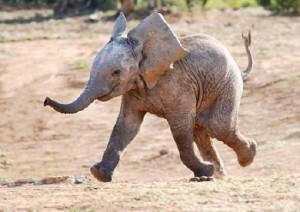 elephant26